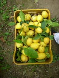 A box of freshly picked lemons